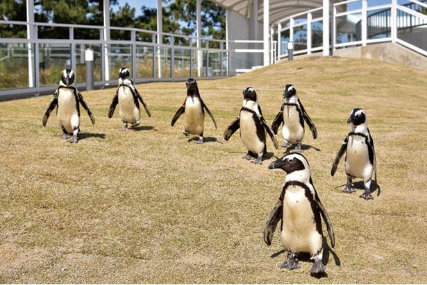 思わず笑顔になるユーモラスなペンギンウォーク