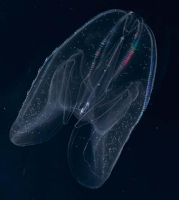 カブトクラゲ/海遊館 海月銀河