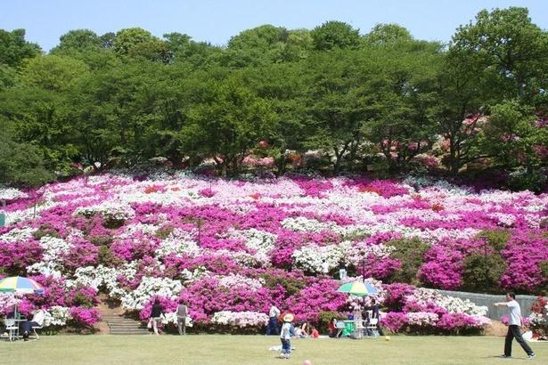 日本海側随一のツツジの名所として有名な西山公園