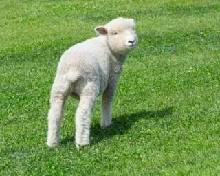初夏のマザー牧場は羊のイベントが豊富!
