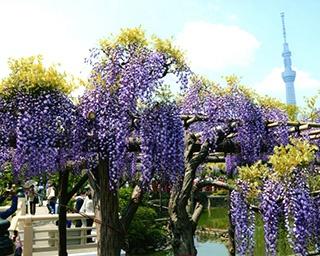 亀戸天神社で開催中の藤まつり。スカイツリーを望むロケーションは見事