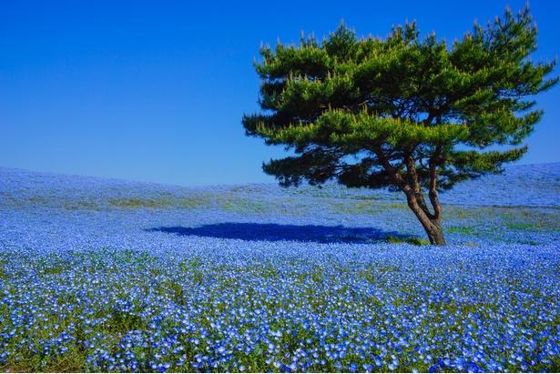 国営ひたち海浜公園の4月中旬から5月上旬までは一面ネモフィラの花畑に!神秘のブルーに包まれる