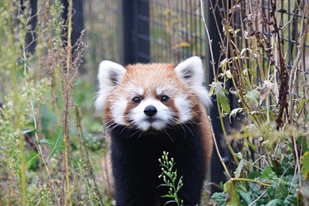 【写真を見る】トコトコ歩く、かわいらしいレッサーパンダも見に行きたい