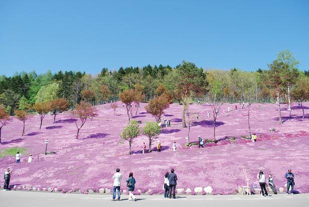 公園中が鮮やかなピンク色に染まる