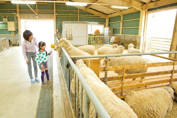 「やぎ・羊舎」で干し草をもらって、ヤギとヒツジのエサやりに挑戦しよう/奈良県営 うだ・アニマルパーク
