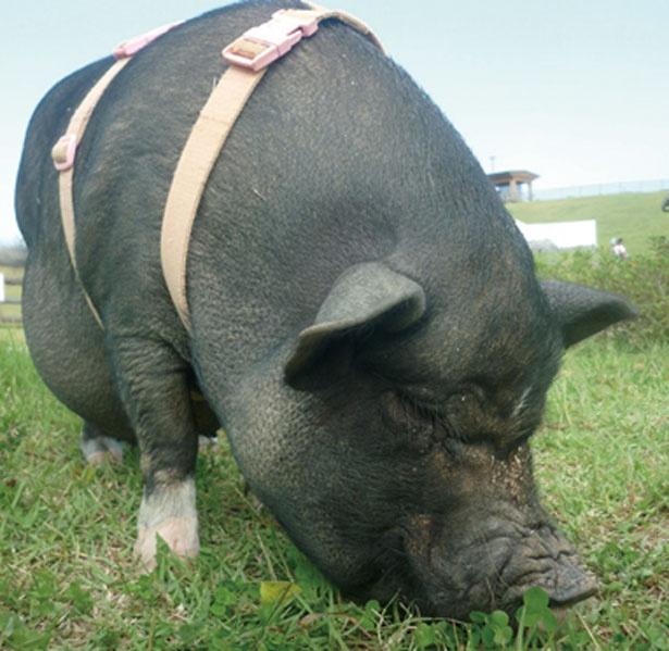 「小動物舎」で、ミニブタに会える/奈良県営 うだ・アニマルパーク