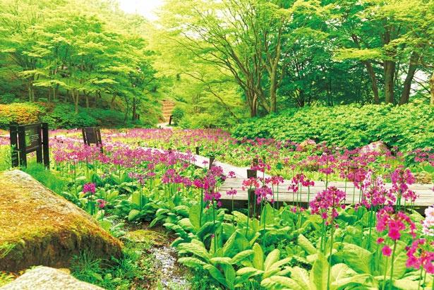 5月中旬に見ごろを迎えるクリンソウに合わせ湿生区をリニューアル/六甲高山植物園