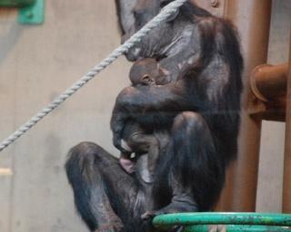 旭山動物園/チンパンジーの「チロ」に抱かれる「二コル」