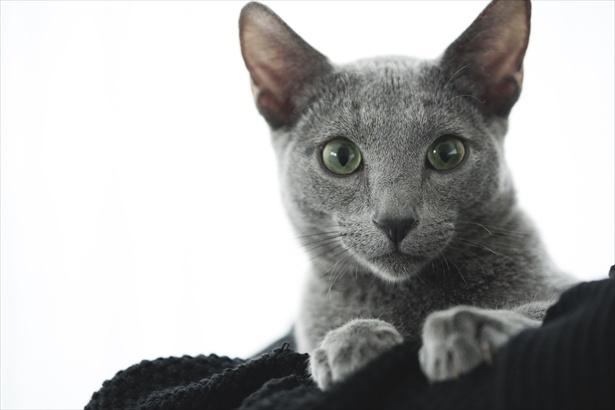 映画「猫は抱くもの」で良男(猫)を演じたロシアンブルーのグリグリ
