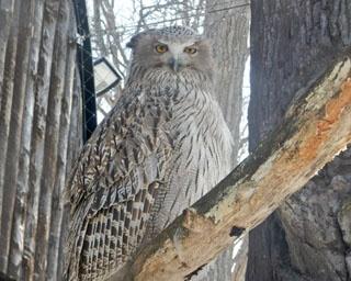 旭山動物園/シマフクロウのヒナ(巣内のモニター画像より)