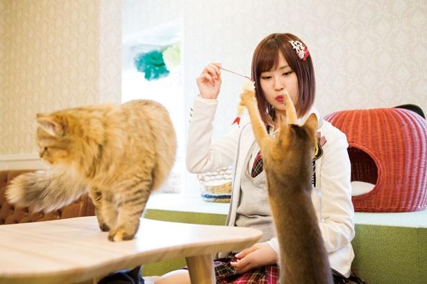 おもちゃが大好きで元気いっぱい!/猫カフェホテル ニャンケシェン