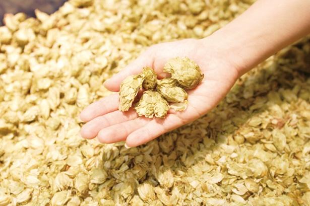 ビールを製造するうえで欠かせない原料の1つ、ホップに触ることもできる