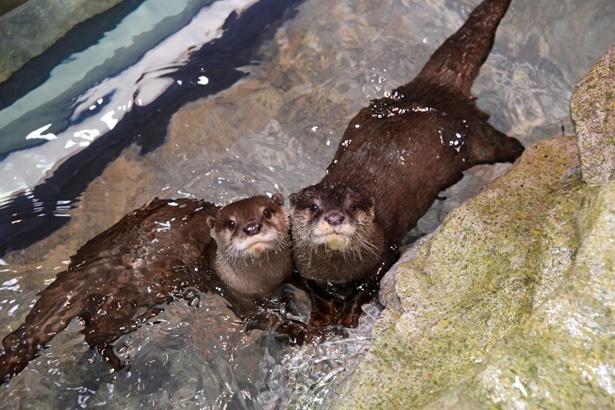 「新江ノ島水族館」で2018年3月から公開され、大人気のコツメカワウソ