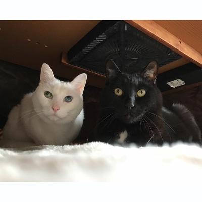 黒猫/アズキ・白猫/キナコ@yah_834(やほやほ)