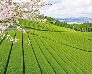 数量限定の「お茶とバジルのジェノベーゼ (1404円)」は、ジェノベーゼのバジルが茶葉に代えられて、さっぱりとした味わい