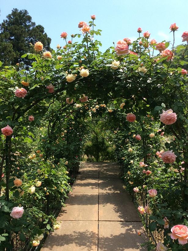 【写真を見る】つるバラで覆われたトンネルの中を歩ける