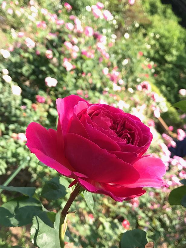 様々なバラが咲き競う