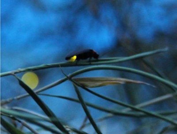 【写真を見る】「ホタルの夕べ」では自然環境下では難しいホタルとの距離感が実現されている