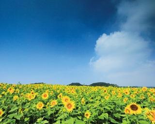 これぞ夏の風物詩!一面のひまわり畑に幸せいっぱい!!〈愛知〉