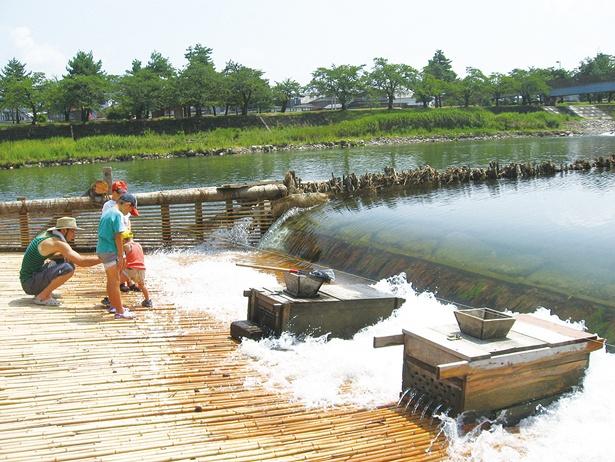 やなには川魚が放流されていて、天然の子持ちアユが上がることも!