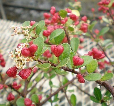 プクッとした赤いハートの実がなる「HEART TREE」(3500円)