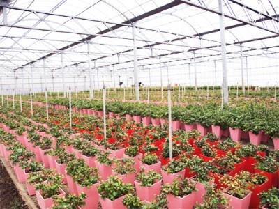 出荷されるまでに 1年半から2年もかかり、 「澤田農園」にて1本、1本愛情を込めて栽培されている