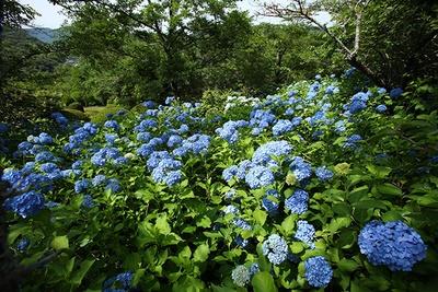 梅雨の時季に鮮やかな花を咲かせるアジサイ