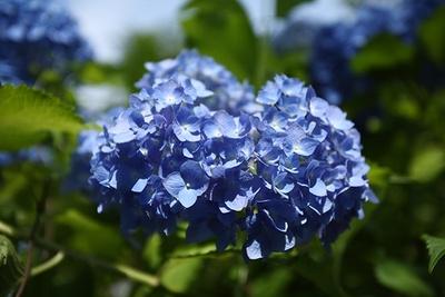 【写真を見る】大輪の花を咲かせるアジサイ