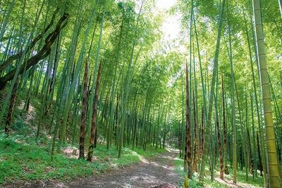 【写真を見る】天高く真っすぐに伸びる見事な竹林