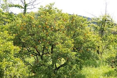 ミカンやサクランボなどさまざまな果樹があるのもビオトピアならでは