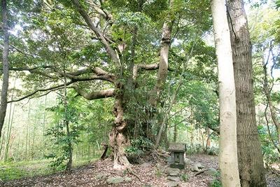 吾妻山の鎮守の森に佇む御神木のスダジイ。ビオトピア最大のパワースポット