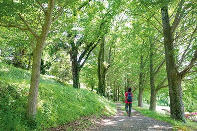 鮮やかな緑のトンネルの銀杏並木。秋には黄金色の道になる