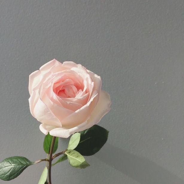 【写真】化粧品のために開発された新品種のバラ