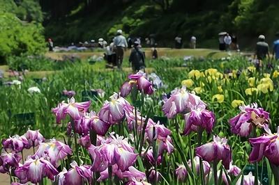 【写真を見る】600品種もの花しょうぶが咲きほこる