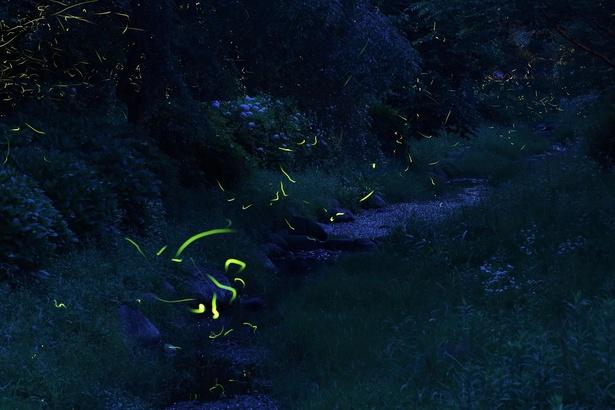 静寂に輝くホタルの群れ。まばゆいばかりの光は川面に反射し、より美しさを増す