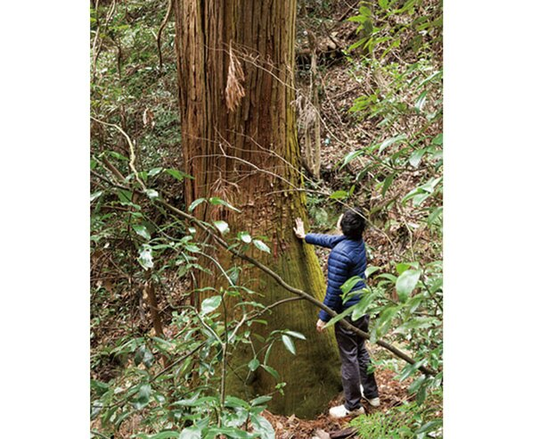 金華山一の大杉。ルートから少し外れた左手の方に、幹の直径が130cmを超える大スギを発見できる