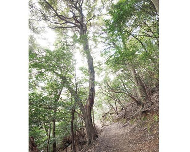 5月上旬に黄金色の花を咲かせることから、金華山の名前の由来とも言われる