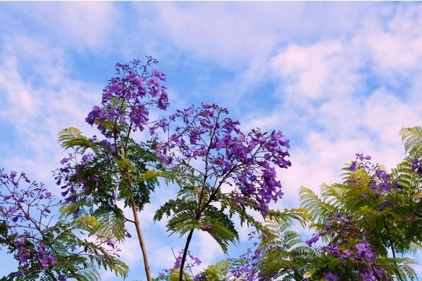 世界三大花木「ジャガランダ」が見ごろを迎える