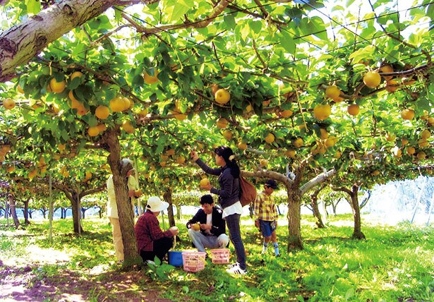 幸水・豊水・新高など多数の品種を栽培している
