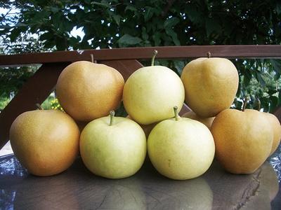 ブルーベリー狩りは30分食べ放題+100g持ち帰りで800円。もぎ取りは実施していないが、桃やプラムなども栽培している(購入可能)