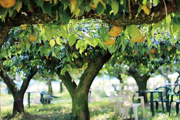 【写真を見る】茨城県の「さんろく果樹園」。毎年8月中旬から販売されるオリジナルのアイスクリームも必食