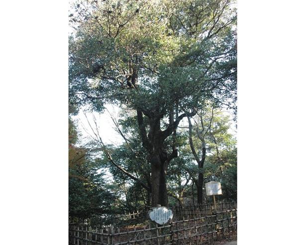 小牧山のシンボルツリーでもある「タブノキ」