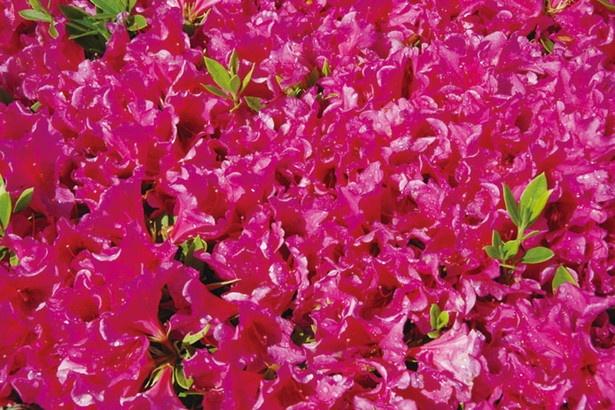 4月下旬~5月には鮮やかなツツジが咲く