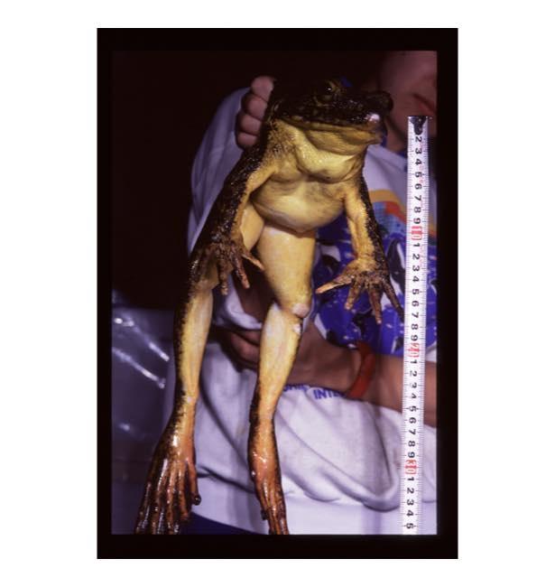 【写真を見る】なかなか見ることができない世界最大級のカエル「ゴライアスガエル」も展示される