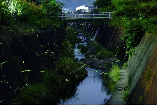 【写真を見る】「通都川」を舞うホタルは優美。足元を照らす懐中電灯などを持参するといい