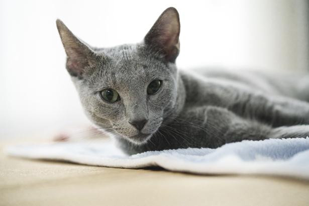 【写真を見る】沢尻エリカが撮影後に飼い猫にしたロシアンブルー・良男は納得の美しさ!