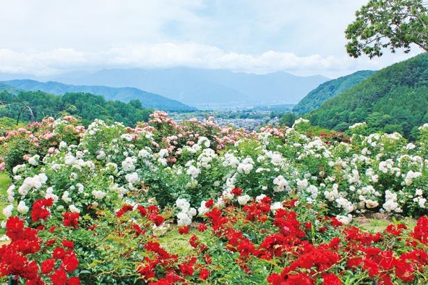 園内は9つのエリアに分かれている。それぞれのコンセプトに合わせ、さまざまな種類のバラが咲く