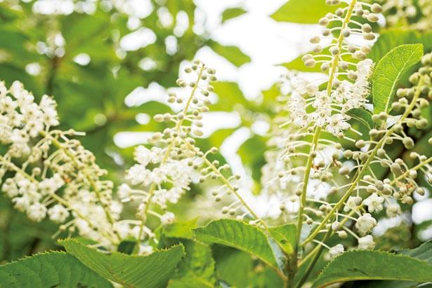 7~9月には青山高原のいたる所で、優しくさわやかに香るリョウブの花が咲き誇る