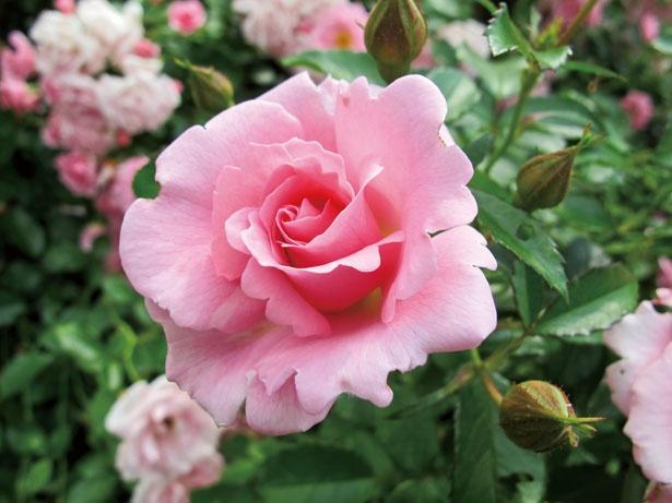 無農薬でも栽培することができるサマーモルゲン。7月に園内の愛の庭エリアで見られる