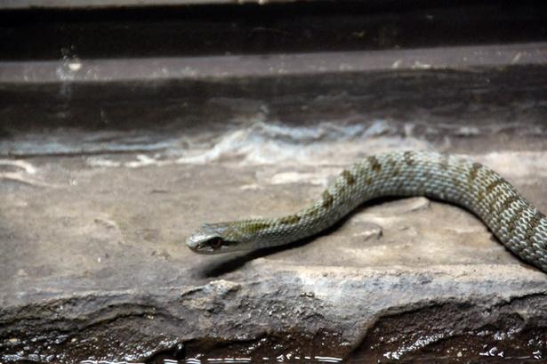 旭山動物園/シマヘビ